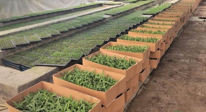 روایتی از تولید گلخانهای آناناس تا جلوگیری از خروج میلیون دلاری ارز از کشور