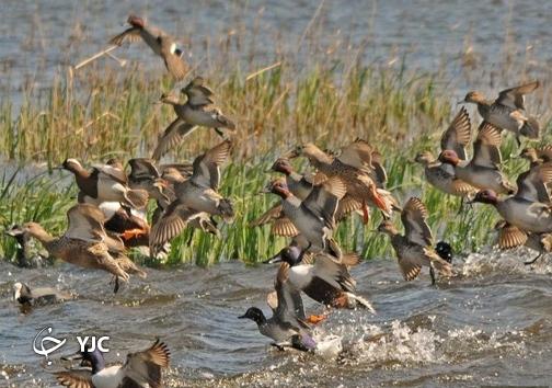 پرندگانی که قصد مهاجرت ندارند/ ماندگاری ۶۰۰ بال پرنده در تالاب کانی برازان