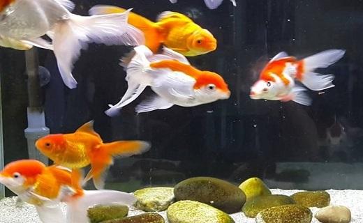 ۲۰ میلیون قطعه ماهی قرمز کاشان مهمان سفرههای هفتسین ایرانیان