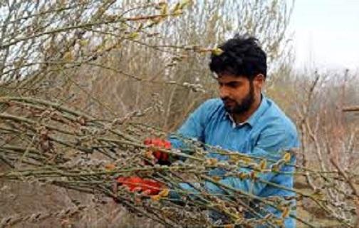 گلهای بیدمشک، قاصد بهار در برزک کاشان