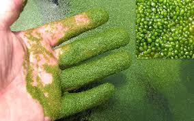 ولفیا؛ گیاهی بسیار کوچک، اما نحات بخش برای بشریت