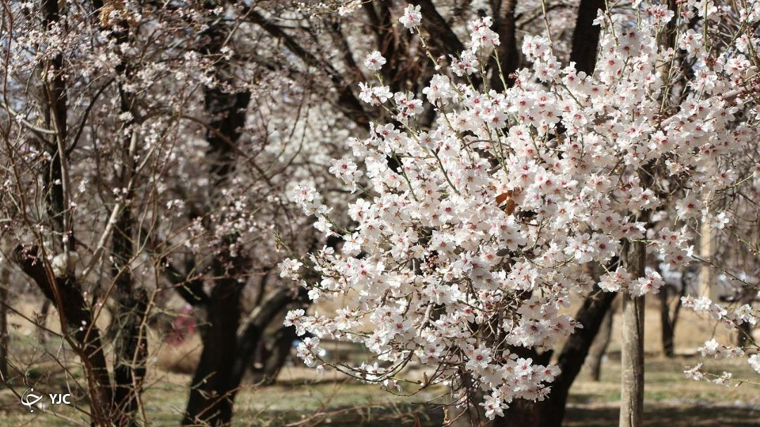 استقبال زود هنگام طبیعت یزد از بهار/ درختان شکوفه باران شدند +تصاویر