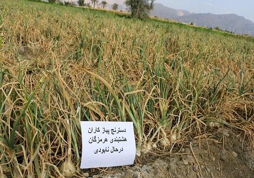 پیاز اشک کشاورزان را درآورد و کمرشان را هم شکست!