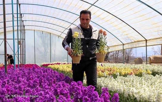 عطر خوش شببوهای خمینی شهر در کشور پراکنده میشود