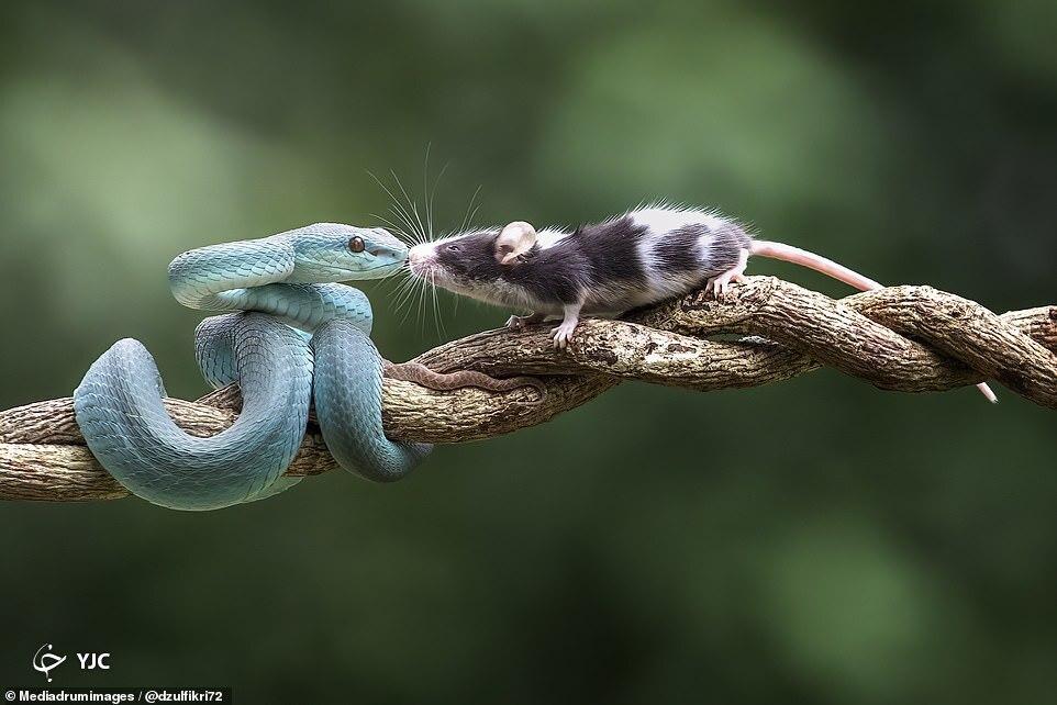 بلعیدن موش کنجکاو توسط افعی آبی