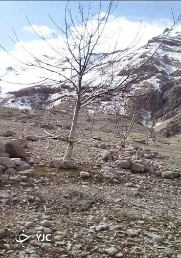 تنه زخمی درختان گردو در گندمکال