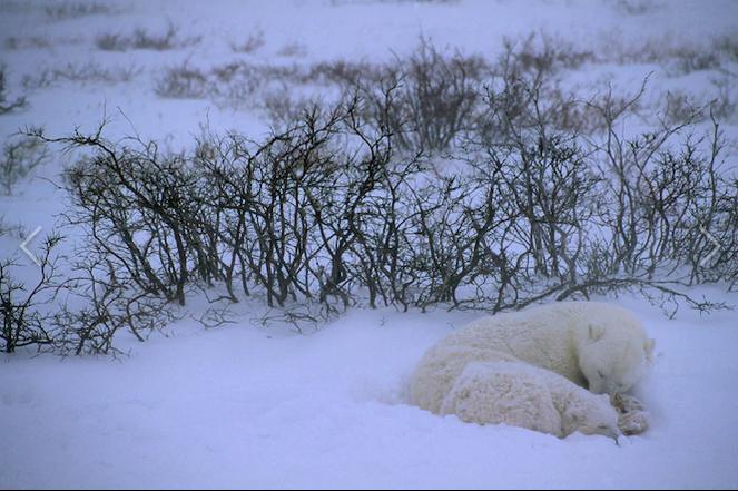 عکس منتخب نشنال جئوگرافیک از خواب زمستانی خرس قطبی