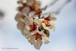 شکوفه های یخی