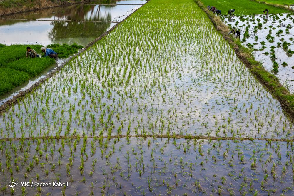 تغییر رویکرد وزارت جهاد کشاورزی در محدودیت کشت برنج/ خودکفایی برنج دست یافتنی است