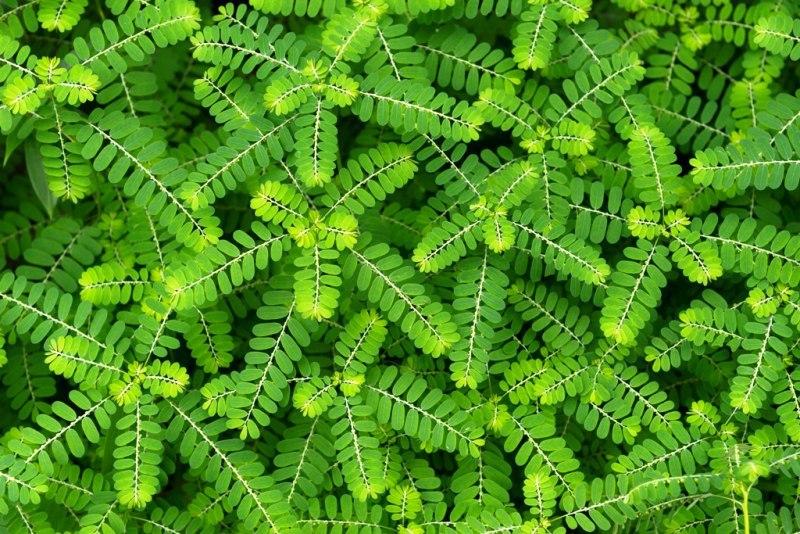 گیاه چانکاپیدرا