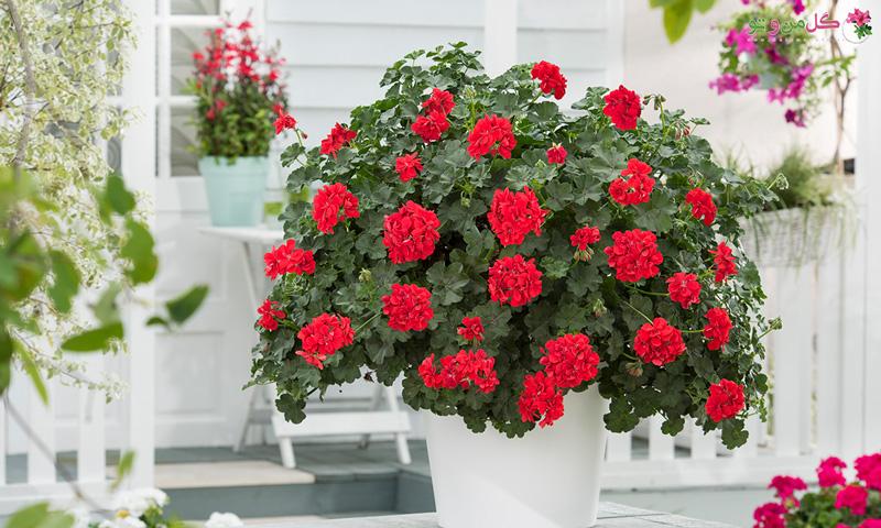 راز نگهداری گل شمعدانی در منزل