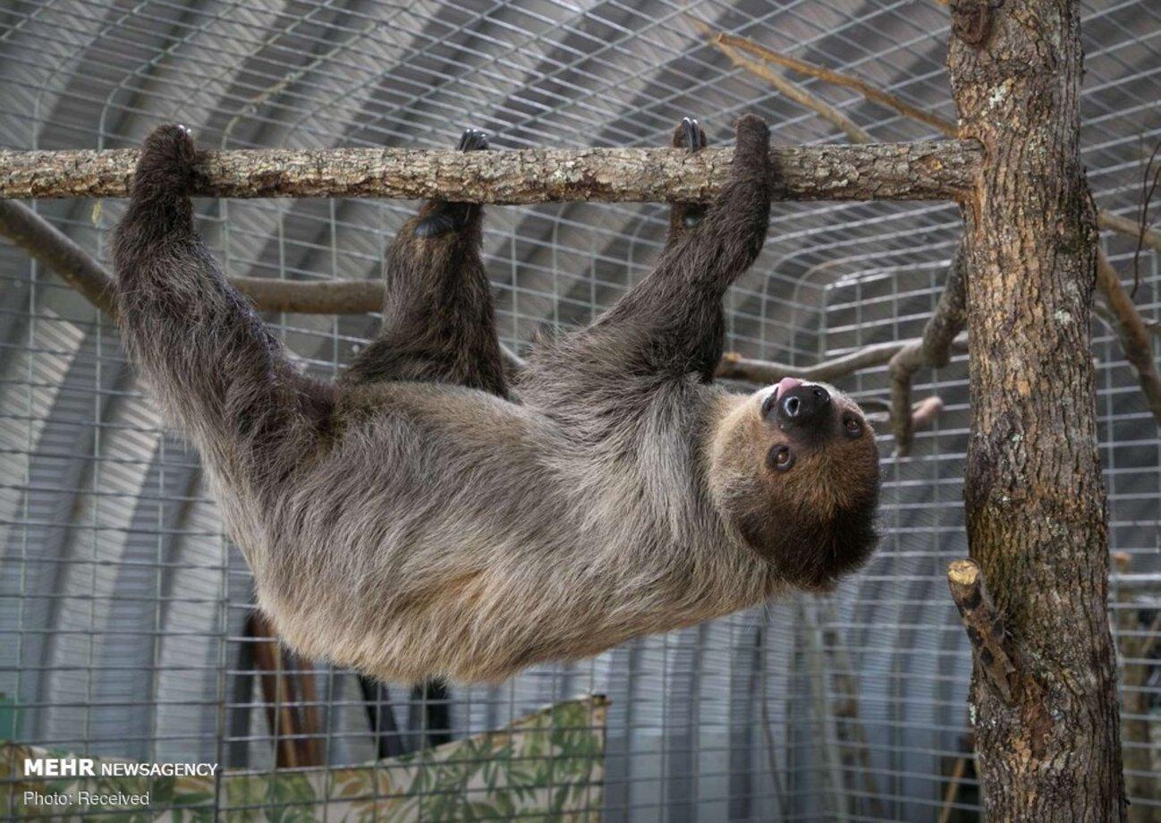 اطلاعاتی از تنبلترین حیوان جهان + تصاویر