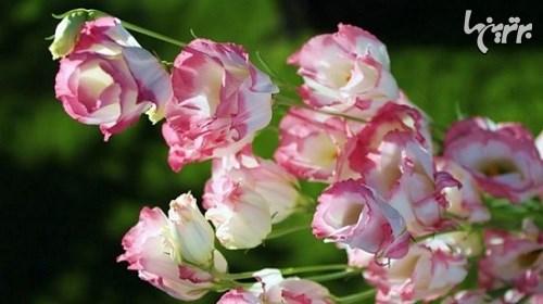 گرانترین گلهای جهان + تصاویر