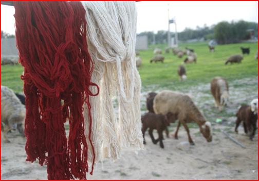 پشم، لباسی بر تن گوسفند که دلالان را پیروز میدان میکند/نگهبانان کوه و دشت در انتظار نگاه مهربان مسئولان