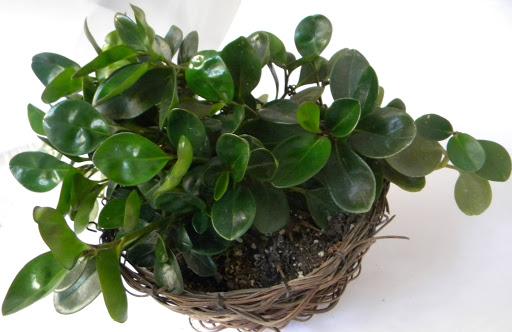 گیاهان آپارتمانی مقاوم گیاهان آپارتمانی گیاه شناسی عمومی کاشت گیاه در گلدان کاشت گیاه پرورش گل و گیاه بهترین گیاه برای نگهداری بهترین ترفندها