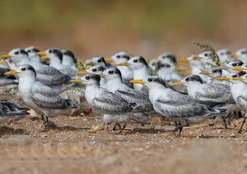 پرندگانی که زلف شانه زده خود را مدیون کرونا هستند