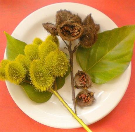 میوه عجیب گیاهان جالب عکس درخت زیبا عکس جالب درخت رژلب درخت رژ لب در آمازون دانستنی های جالب جنگل آمازون