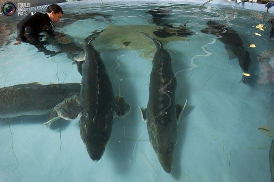 پرورش ماهی خاویاری در استخر + تصاویر