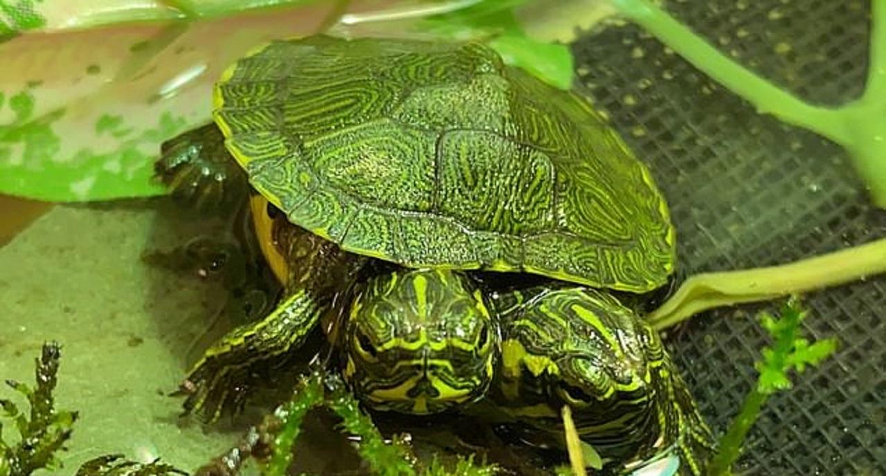 لاکپشت دوسر نادر