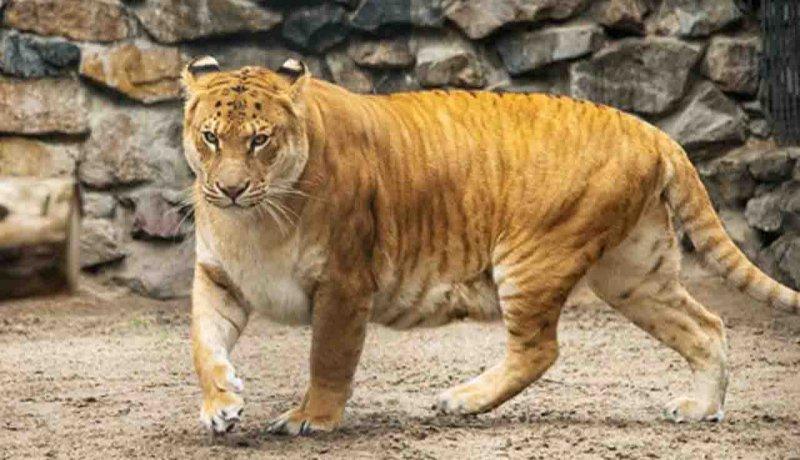 لایگرها، غول پیکر ترین عضور خانواده گربه سانان