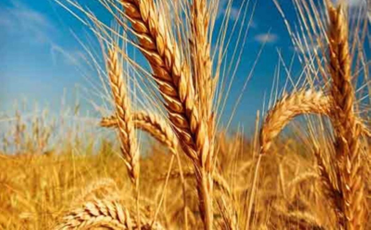 کشت گندم در ۶ میلیون هکتار از زمینهای کشور