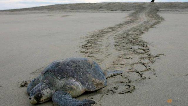 علت مرگ لاکپشتها در شهرستان جاسک مشخص شد