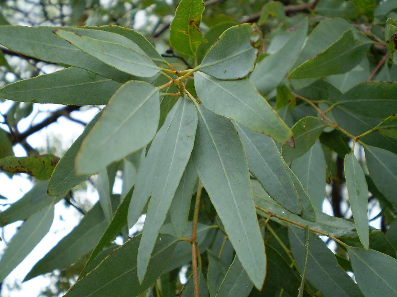 آشنایی با درخت اکالیپتوس و نکات نگهداری آن/ اکالیپتوس گیاهی برای فرار حشرات