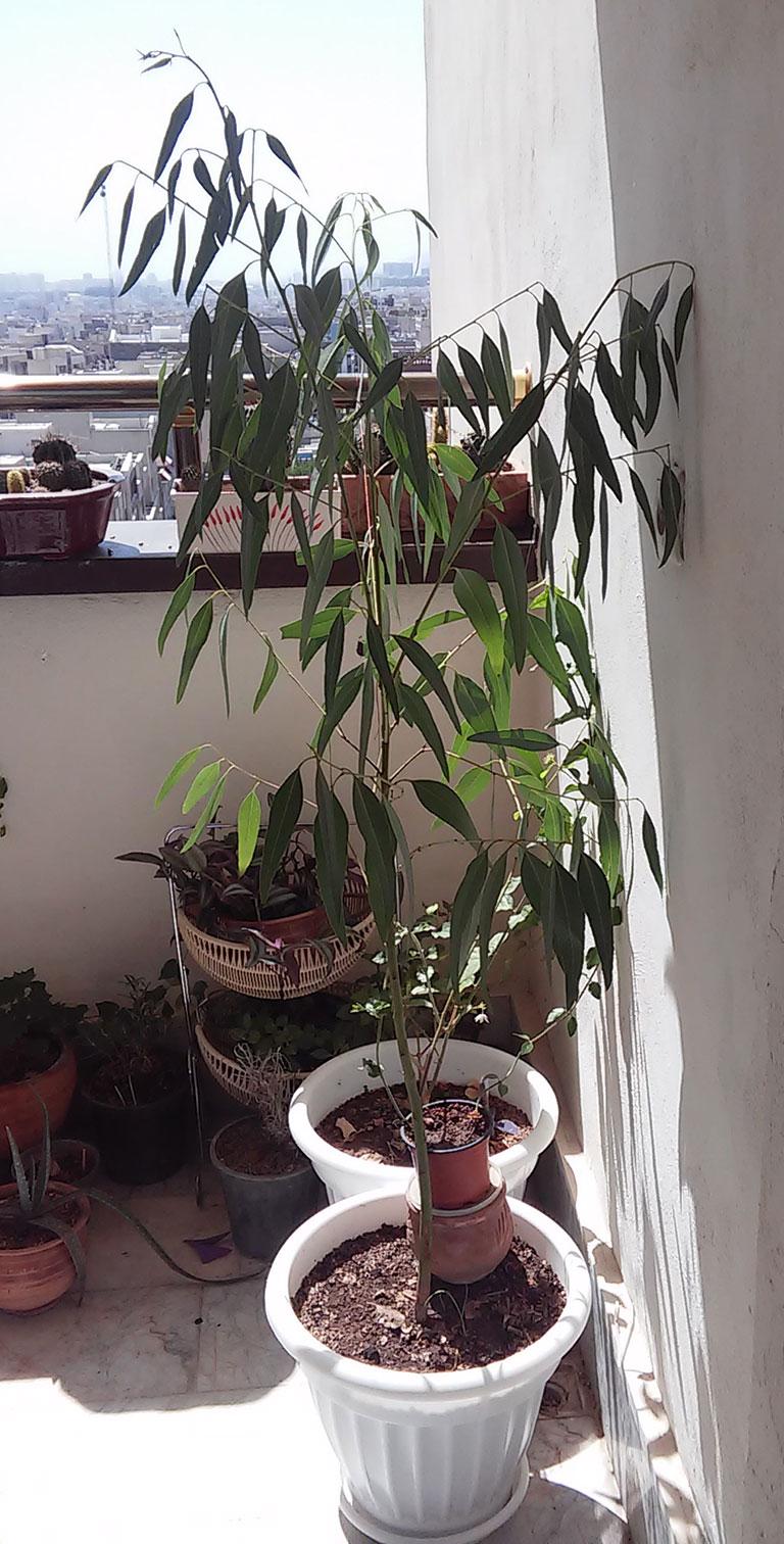 نحوه کاشت اکالیپتوس گیاهان دور کننده پشه گیاهان آپارتمانی کشت گیاهان دارویی کاشت گیاه در گلدان کاشت اکالیپتوس در گلدان خواص اکالیپتوس پرورش گل و گیاه بهترین گیاه برای نگهداری بهترین ترفندها اکالیپتوس آموزش کاشت گیاهان دارویی