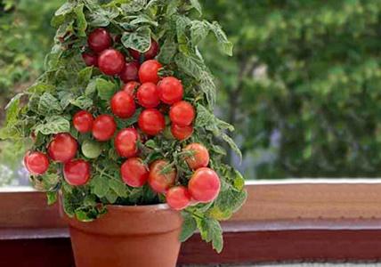 چگونه در منزل گوجه گیلاسی بکاریم؟