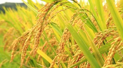 کرونا، نتوانست جلوی تولید و کشت برنج را در گیلان بگیرد