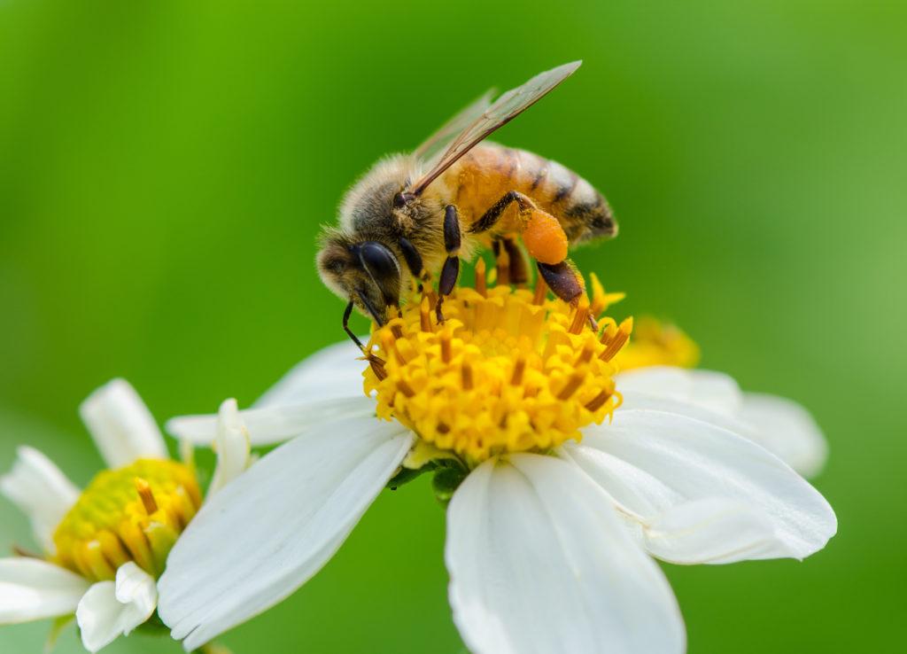 زنبور عسل در حفظ اکوسیستم و گرده افشانی تاثیر به سزایی دارد