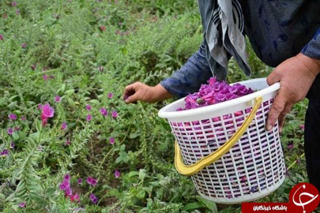 برداشت گیاهان دارویی در شهرستان رابر