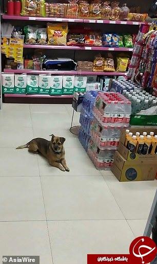 وفاداری عجیب یک سگ به صاحب متوفای خود!