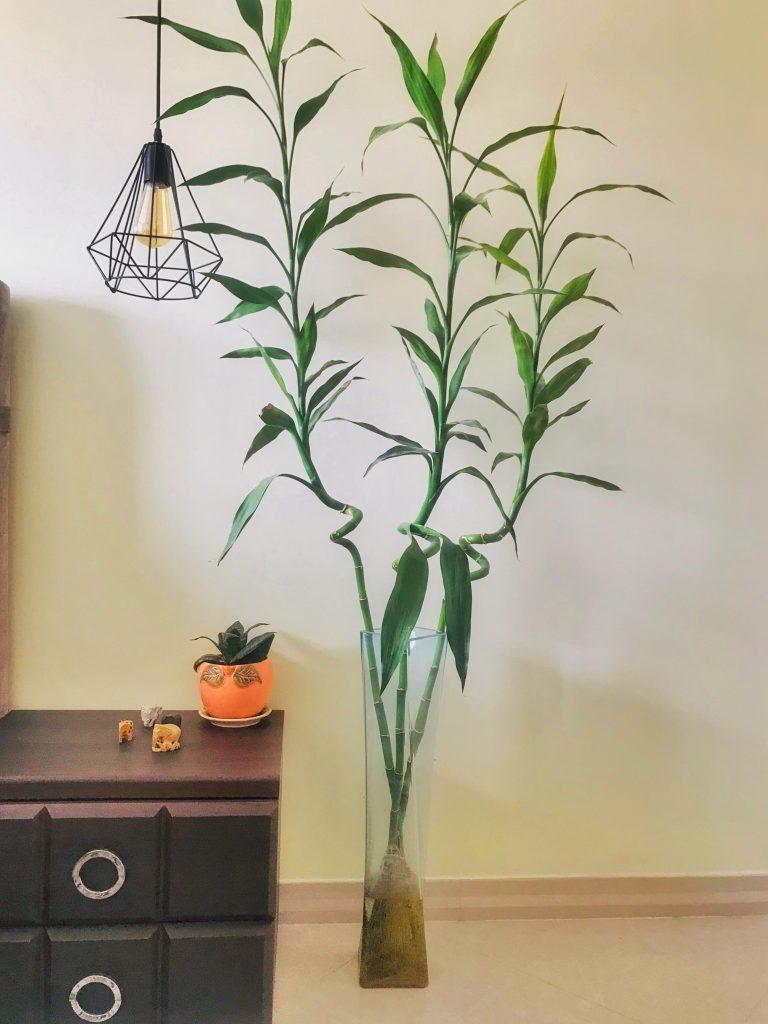 راز نگهداری از گیاه بامبو در منزل