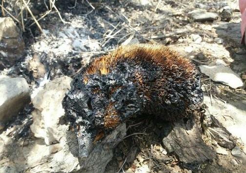 سوختن حیوانات در آتیش سوزی خائیز