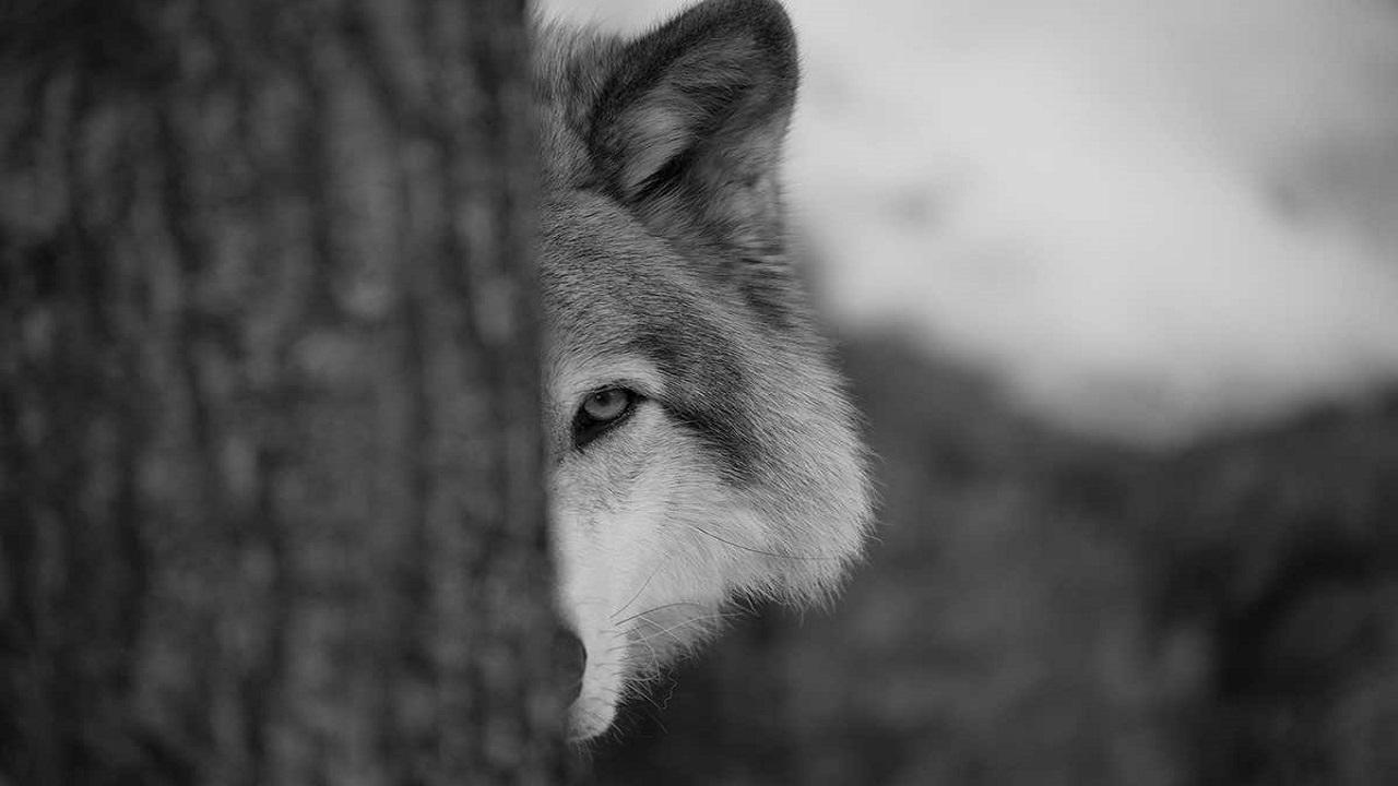 پناه بردن گرگ به انسان در ماهدشت! + فیلم