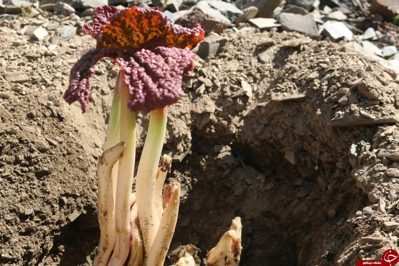 برداشت ریواس از کوهپایه های دامنه بینالود در شهر خرو