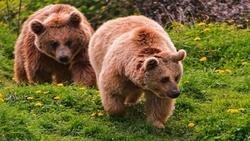 صحنهای زیبا از ۲ قلاده خرس قهوه ای در جستجوی غذا + فیلم