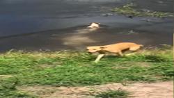 حمله کروکودیل به یک سگ خانگی در جلوی چشم صاحبش + فیلم