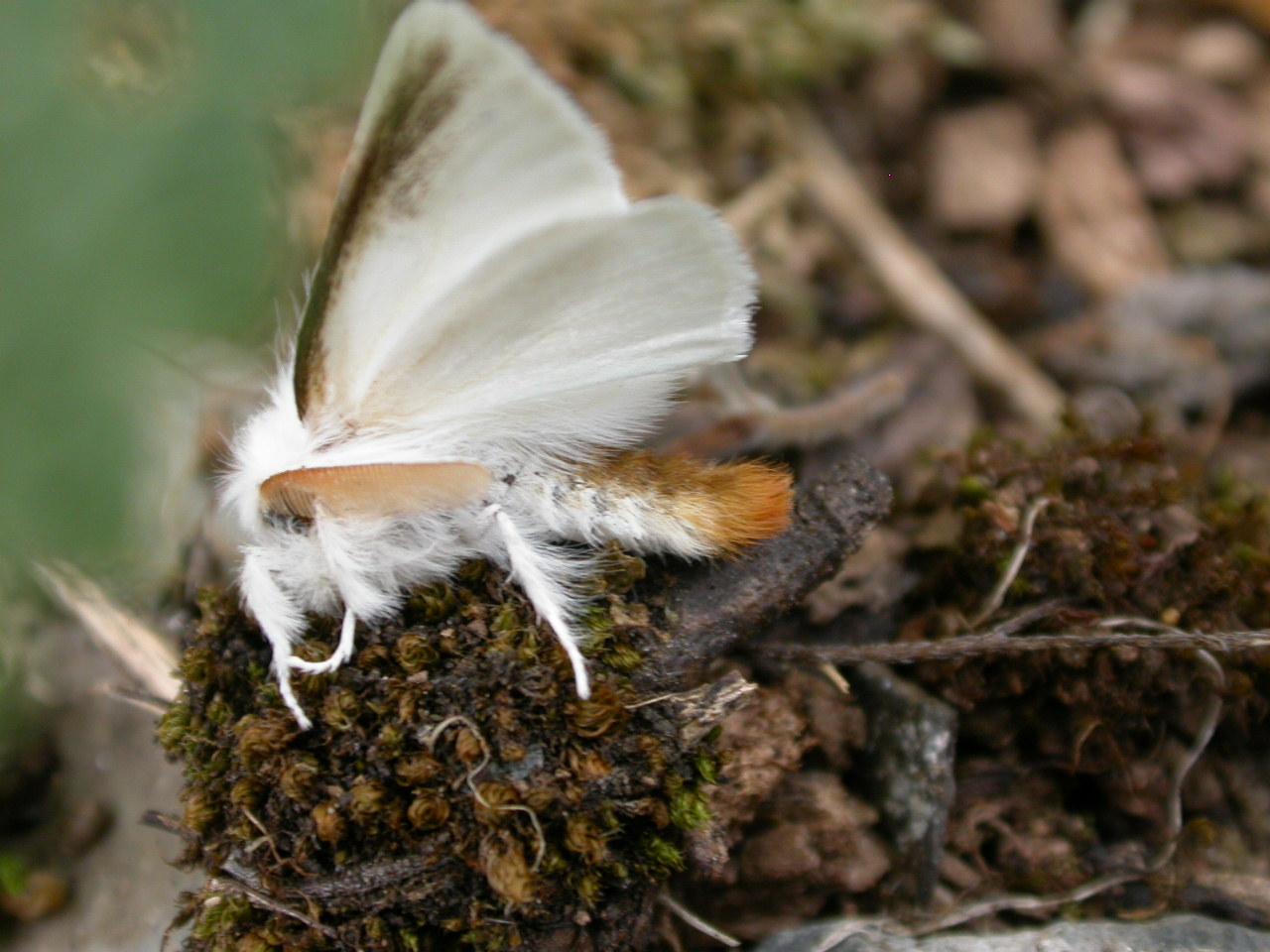 ضرورت مقابله جدی با پروانه دم قهوهای در اهر