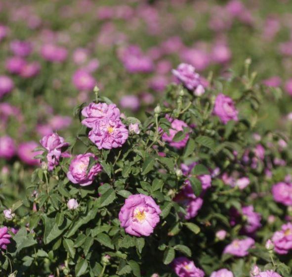 برداشت طلای معطر از باغهای آذرشهر