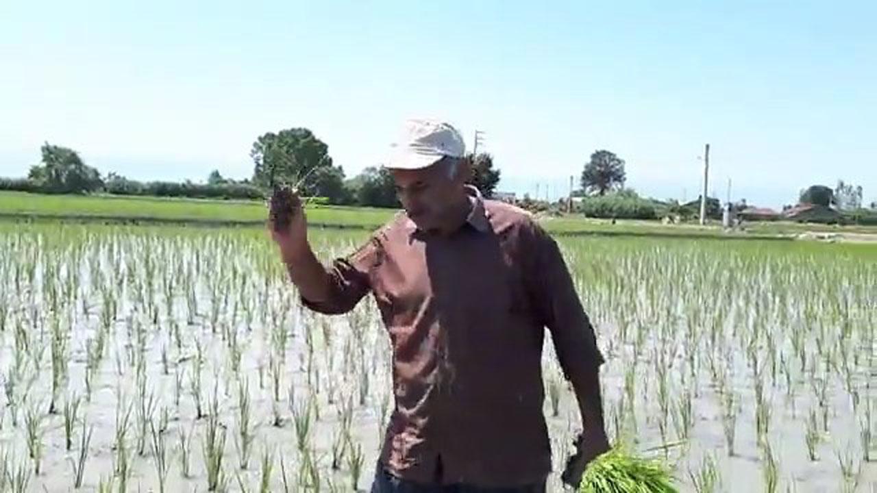 کشاورز بابلی در شالیزار مراسم روز قدس برگزار کرد + فیلم