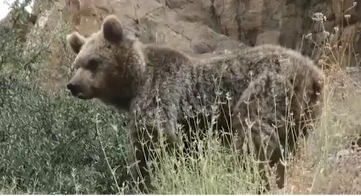 فیلمی کم نظیر از خرس قهوهای در فاصلهای نزدیک