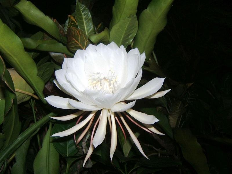 از رز ژولیت تا ملکه شب؛ گرانترین گلهای دنیا با قیمتهای میلیونی + تصاویر