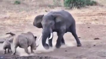 نبرد فیل با کرگدن
