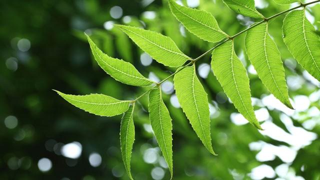 برگهای درخت چریش چه خواصی دارد؟