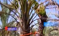 بوشهر رتبه سوم تولید خرما در کشور را دارد