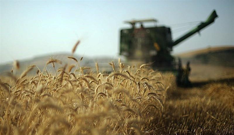 پیش بینی برداشت بیش از ۷۰۰ هزار تن گندم از مزارع استان همدان