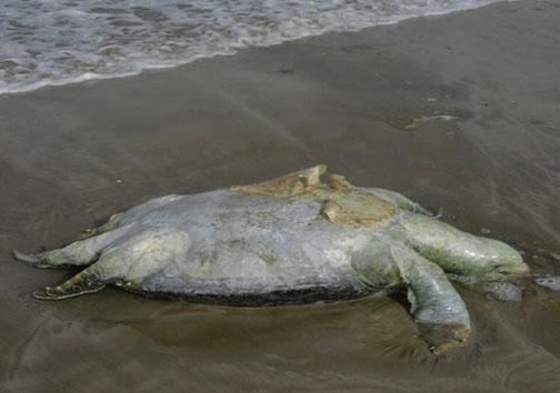 حیات لاک پشت های دریایی بازیچه دست ساخت و سازه های ساحلی