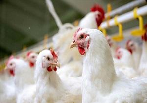 مرغداری صنعتی رامهرمز، واحد تولیدی که ۱۸۰ نفر را دست به کار میکند